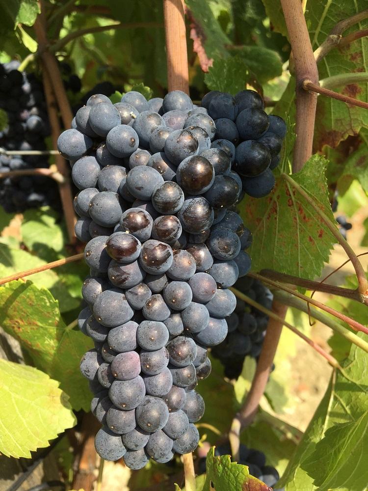 Pinot-nero-santa-giustina-collipiacentini